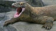 Stock Video Footage of Komodo Dragon Yawning