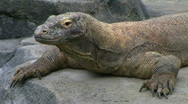 Komodo Dragon Looking Around Stock Footage