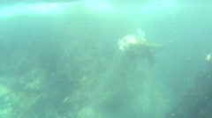 Sea Lion Swims Towards Viewer Stock Footage