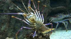 Spiney purple lobster three Stock Footage