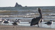 Stock Video Footage of  Pelicans and Seagulls Fly in Estuary San Carlos, Mexico