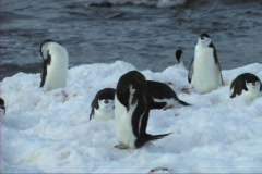 Chinstrap penguin Stock Footage