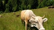 White cow Stock Footage