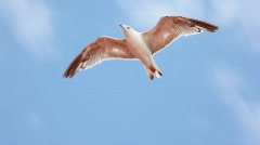 Alone seagull flying in blue sky Stock Footage