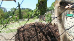 Ostrich emu prinking behind grid in open-air cage in zoo Stock Footage