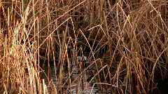 Ducks Float around in the Water of a Marsh Stock Footage