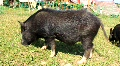 Wild boar HD Footage