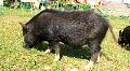 Wild boar Footage
