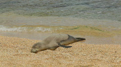 Hawaiian Monk Seal on beach Stock Footage
