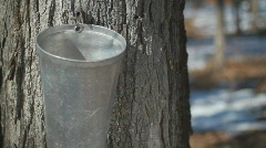 Maple Sap Dripping Into A Metal Bucket On A Tree Trunk  - stock footage