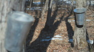 Maple Sap Focus Pull Stock Footage