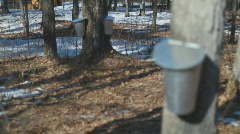Maple Sugar Bush Stock Footage