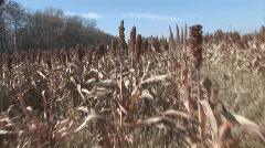 Sorghum Field Stock Footage