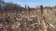 Sorghum Field Stock Footage