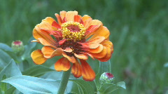 Gerbera flower stamen close up  Stock Footage