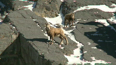 Female Rocky Mountain Sheep 2 Stock Footage