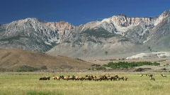 Bull Elk and harem (timelapse) Stock Footage