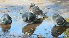Pigeons in puddle in park Stock Footage