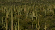 Giant Saguaros Stock Footage