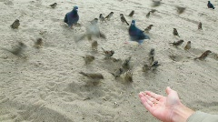 Sunflower seeds on hand feeding pigeons and sparrows Stock Footage