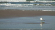 Stock Video Footage of Seagull Preen Surf