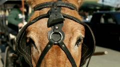 Close up of Carriage Horse Face Stock Footage
