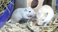 White rats Stock Footage