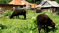 Two black sheeps Stock Footage
