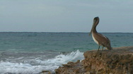 Pelican alone by sea Stock Footage