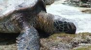 Sea Turtle 4 Stock Footage