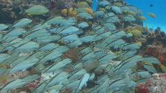 School of cottonwick grunt fish 2 shots Stock Footage