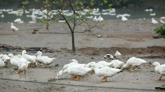 Walking ducks Stock Footage