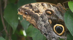 Owl Butterfly Stock Footage