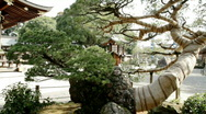 Japanese pine, outside a temple Stock Footage