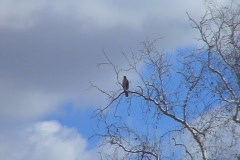 Hawk in Tree Stock Footage