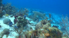Shark swimming over coral reef - stock footage