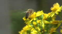 honeybee1 - stock footage
