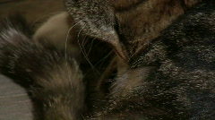 Cat with dermatitis licking Stock Footage