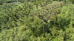 Aerial of a singled out rain forest tree in the midst of palms Stock Footage