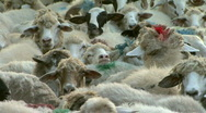 Large number of sheep in the herd Stock Footage
