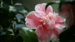 Camellia in the rain Stock Footage
