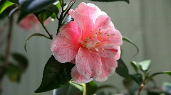 Camellia with ants Stock Footage