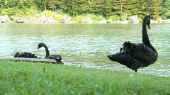Stock Video Footage of Black Swans