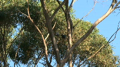 Red-tailed Black Cockatoo Stock Footage