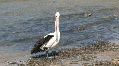 Australian Pelican - stock footage