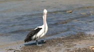 Stock Video Footage of Australian Pelican