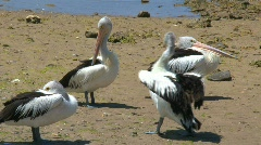 Australian Pelicans Stock Footage
