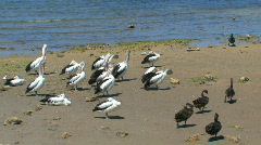Australian Pelicans and a group black swans - stock footage