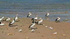 Australian Pelicans - stock footage