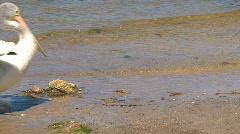 Australian Pelican walking - stock footage